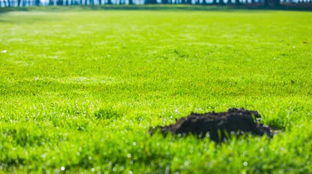 molehill : Mole hole on green lawn. Refocus from big green lawn with one big mole hole in the middle. Stock Footage