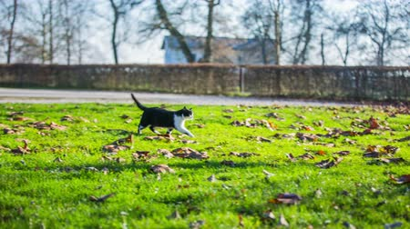 purebred cat : Stray cat in park finding a person for patting. Long shot of stray cat in green lawn park walking towards a attractive female person who pats it.