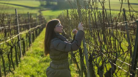 winnica : Woman walk down the vineyard in winter. Shot of vineyard branches in winter and person checking their buds health before spring blossom. Wideo
