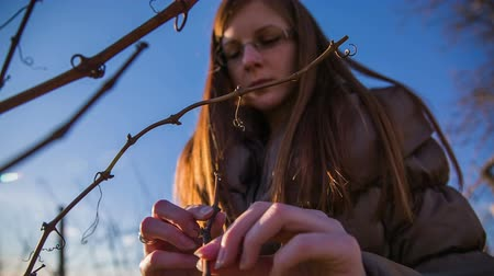 úponka : Analyzing vineyards buds in winter. Shot of vineyard branches in winter and person checking their buds health before spring blossom.