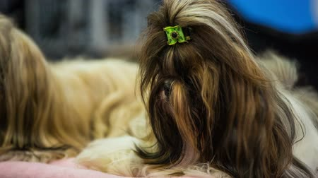 wiener dog : Shih-tzu puppies haircut close up . Small dog with cute look and hair lying on pillow, next to another Shih-tzu purebred.