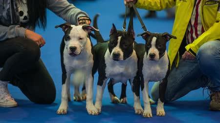 planta de interior : Three dogs posing for camera. Owners with Boston terrier dogs posing on blue carpet for photo camera, dogs are calm and cute.