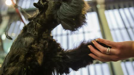 presser : Cute Schnauzer dog shake paw close up. Female hand holding cute paw of a black miniature Schnauzer puppy at exhibition.