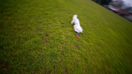 hareketli : Running with Maltese puppy fetching toy. Exercising outdoors with cute white hyperactive Maltese dog on green field.