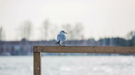 çerçeveler : Seagull with sea in background. White seagull resting on a wooden fence at sea. Wavy sea in background, with buildings far away.