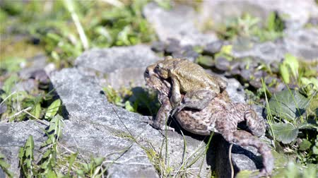 animal world : Big male amphibian frog carry female frog while mating, slowly moving on rocks on a sunny day, close up..Two frogs climbing over rocks 4K Stock Footage