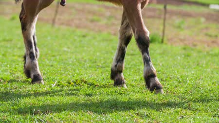 fur boots : Horse hooves of young foal in green grass walk 4K. Low angle close up on horse hooves walk in green grass. Person legs in shoot too. Horse genitals hanging down. Stock Footage