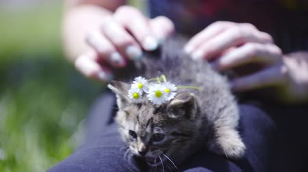 caresses : Kitten with flowers on head on hot summer day . Female person holding baby kitten on legs outside on lawn and playing with daisies. Stock Footage