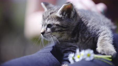 caresses : Caressing cute baby kitten on a sunny day . Adorable cat on woman lap enjoying petting. Flowers in front. Stock Footage