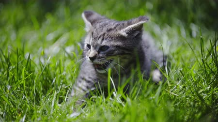 caresses : Baby kitten in outside grass scared . Sunny day with warm sunshine and cute cat in tall backyard lawn.