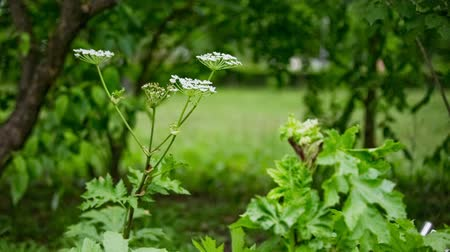 sağlam : Dangerous hogweed flower in park. Toxic weed flower growing in green park, dangerous for human skin.