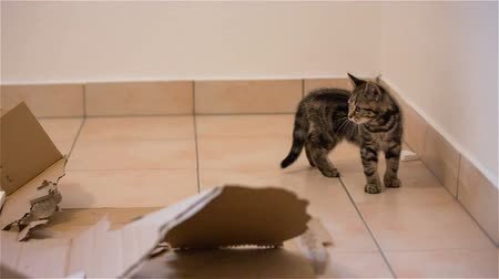 Kitten playing with piece of box. Stock Footage
