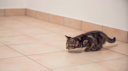 hedef : Cat slowly moving praying on a target. Cute baby kitten staring and carefully moving on floor. Tiles all around.