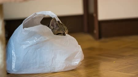 british cat : Playful kitten inside a white bag. Low angle domestic baby cat hiding inside a white plastic bag on floor. Brown closet in background.