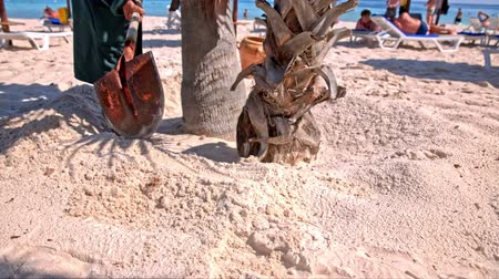 Employee dig sand around palm tree. Male person with shovel digging sand beach around palm tree for trees to get more water.