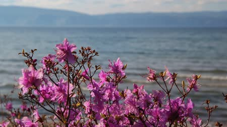 rhododendron : rhododendron in the background of lake Baikal and the mountains Stock Footage