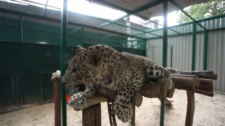 pawed mammal : Leopard in the cage in the zoo Stock Footage