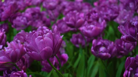 tulipany : Beauty blooming purple tulips
