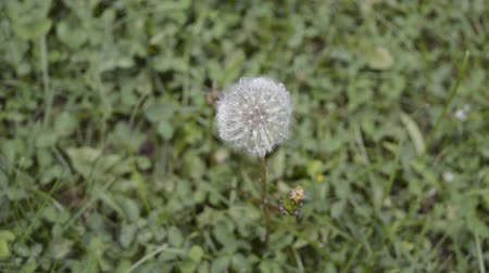 dmuchawiec : blowball on grass in wind