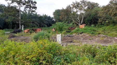 A group of cows in the field in Malaysia, south east asia. 動画素材