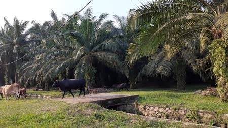 корова : A group of cows in the field in Malaysia, south east asia. in palm oil plantation
