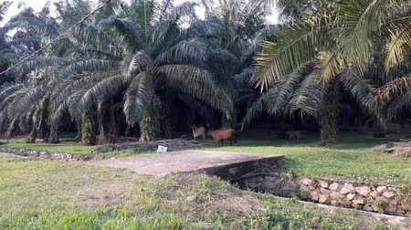 palm oil plantation : A group of cows in the field in Malaysia, south east asia. in palm oil plantation