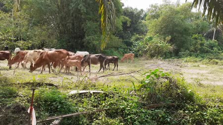 A group of cows in the field in Malaysia, south east asia