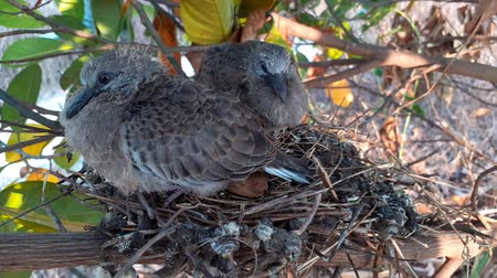 zęby : greater coucal (crow pheasant ,Centropus sinensis) chicks in their nest in kluang johor malaysia Wideo