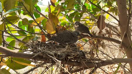 aves : greater coucal (crow pheasant ,Centropus sinensis) chicks in their nest in kluang johor malaysia Stock Footage