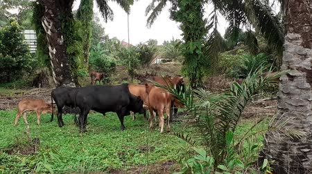 palm oil plantation : A group of cows in the field in Malaysia, south east asia. in palm oil plantation group of cows in the field