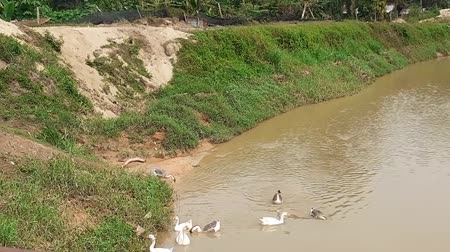 flock of geese : a flock of goose bathing in the river in the morning in malaysia