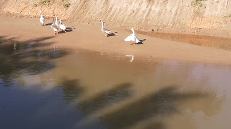 tame animal : a flock of goose in the river in the morning in malaysia climbing river bank