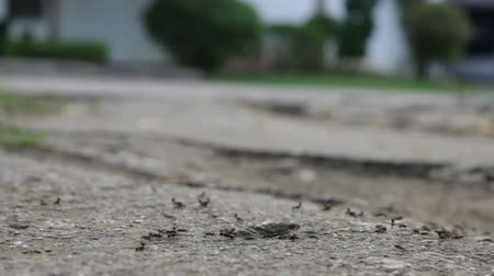formicidae : walking black ants to search food, escape water before raining Stock Footage