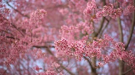himalayan : Prunus cerasoides pink flower and branch blowing by wind