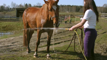 padok : The horse drinks water from the watering hose slow motion 4K