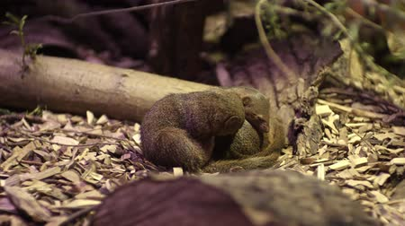 Танзания : The common dwarf mongoose Helogale parvula Стоковые видеозаписи