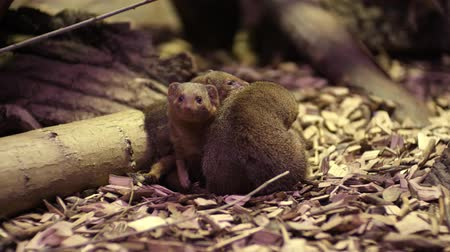 mangostan : The common dwarf mongoose Helogale parvula Archivo de Video
