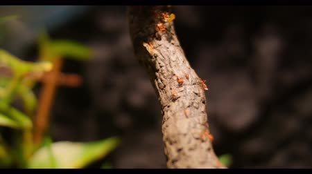 leaf bugs : Fire Ants Teamworks Carry Caterpillars To The Nest, Selective Focus