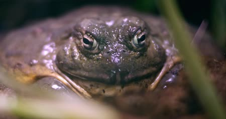 adspersus : African bullfrog at ZOO close up