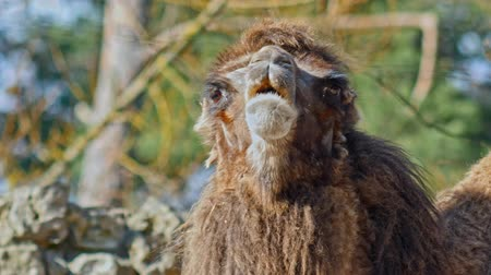 bactrianus : Close up head of camel in zoo Stock Footage