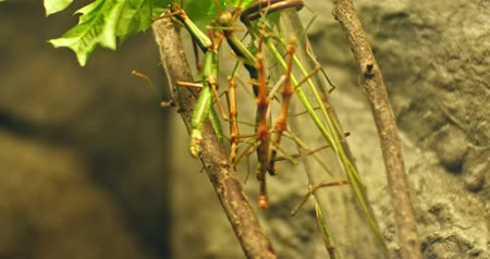 phasmida : Walking stick insect , extreme close up, magnification