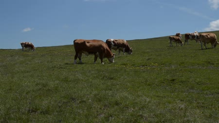 otlama : Herd of cows grazing in a pasture on a sunny day