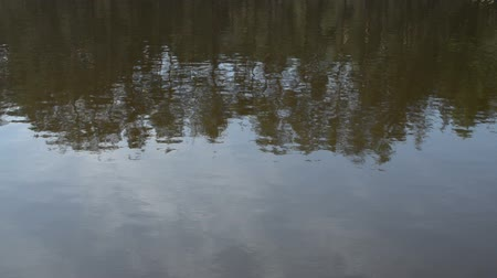 reflexão : Wavy water surface of the lake with reflection of coniferous trees.