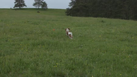 fetching : Dog fetching its toy in a mountain meadow on a cloudy day. Horses are grazing in background. Stock Footage