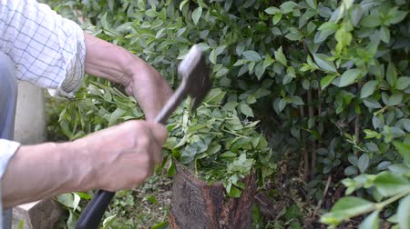 tökfej : Man chopping branches and twigs of a hedge with an ax after trimming