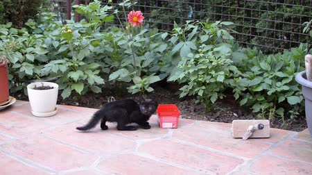 Black, a little bit frightened, kitten is drinking milk or water from a red plastic box in a garden