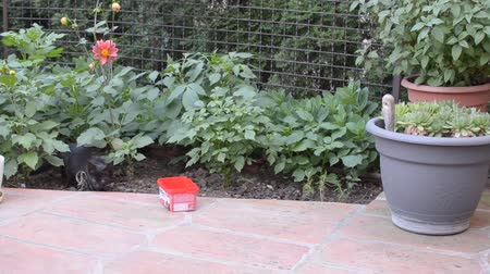 Black kitty is carefully approaching to the plastic box with milk or water in a garden and starts to drink from it
