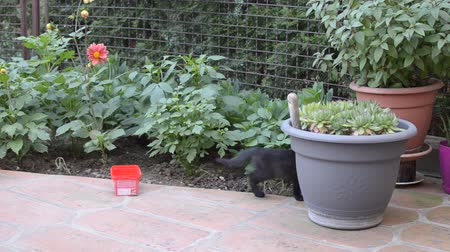 Small, young, black, domestic kitten is hiding behind a flower pot in a garden