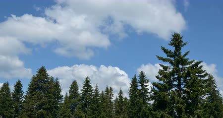 Time lapse of clouds flowing over conifer trees on a mountain.