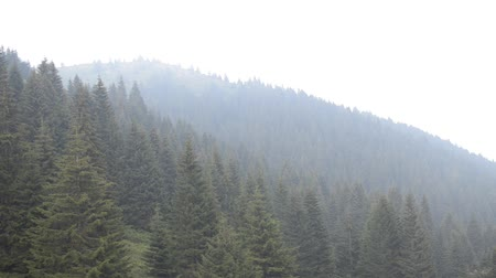 Panning to the right over conifer trees in forests on a mountain, on a foggy, cloudy day.